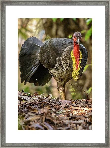 Brush Turkey Framed Print