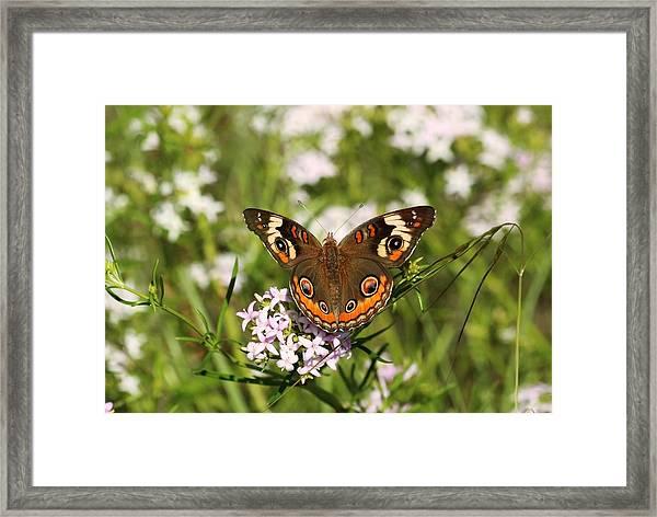 Buckeye Butterfly Posing Framed Print