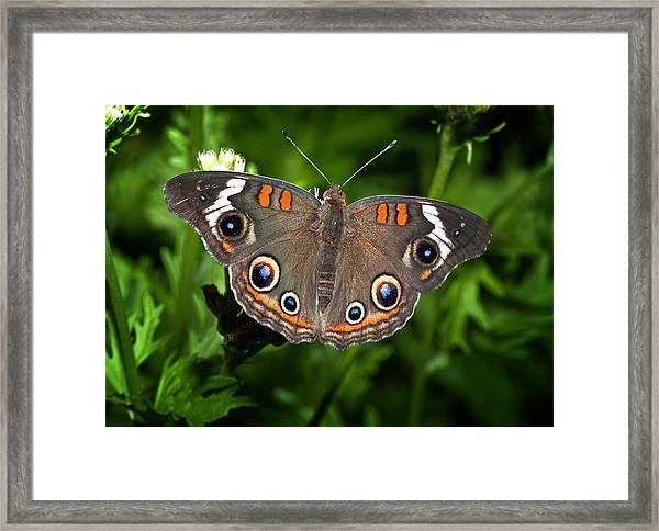 Buckeye Butterfly Framed Print