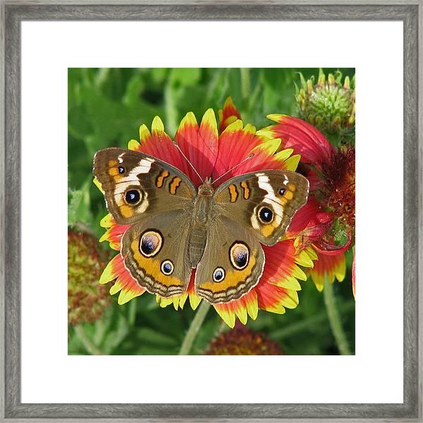Buckeye On Blanketflower Framed Print