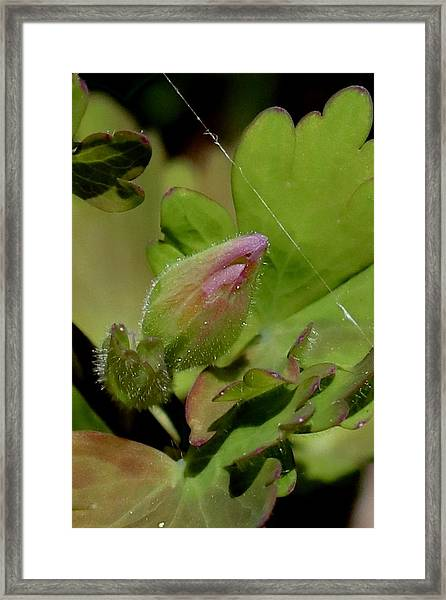 Bud And Spider Silk Framed Print
