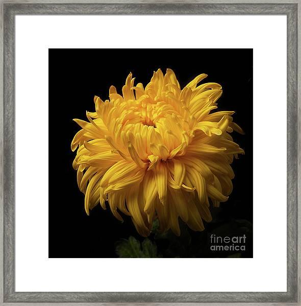 Bud Opening-chrysanthemum 'allison Peace Framed Print
