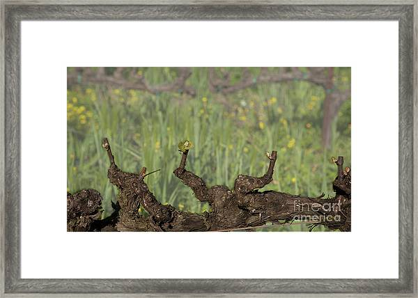 Budbreak In Carneros Framed Print