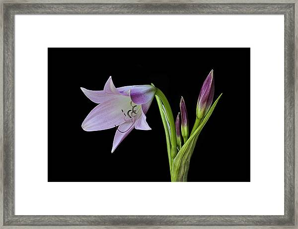 Budding Lily Framed Print