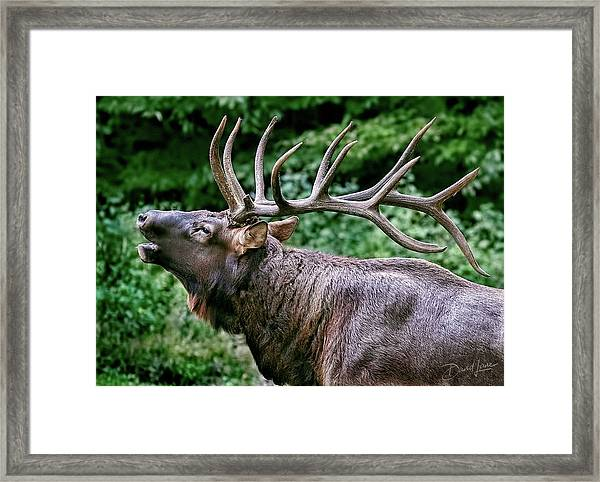 Framed Print featuring the photograph Bugling Bull Elk by David A Lane