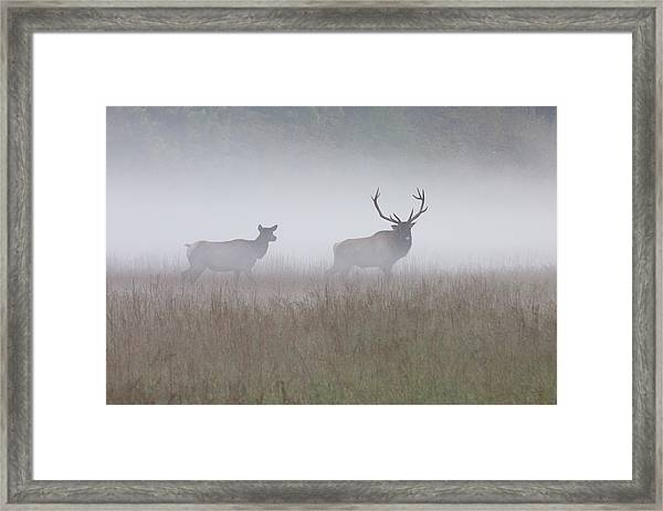 Framed Print featuring the photograph Bull And Cow Elk In Fog - September 30 2016 by D K Wall