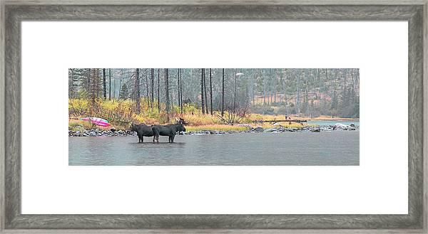 Bull And Cow Moose In East Rosebud Lake Montana Framed Print