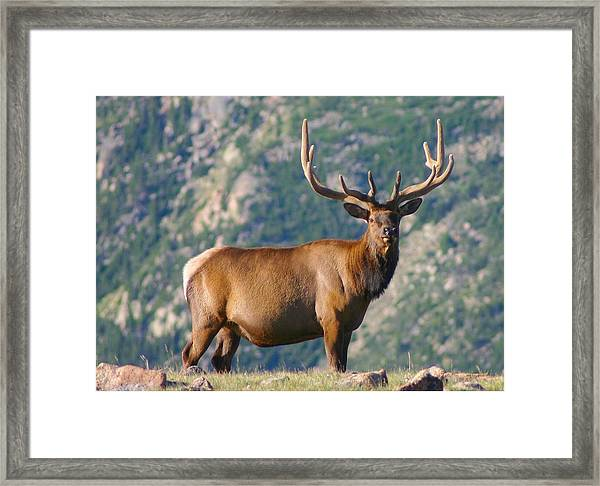 Bull Elk At Treeline Framed Print
