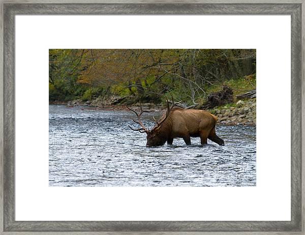 Bull Elk Crossing The River Framed Print