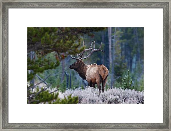 Bull Elk In Forest Framed Print