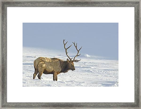 Bull Elk In Snow Framed Print
