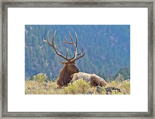 Bull Elk Resting Framed Print