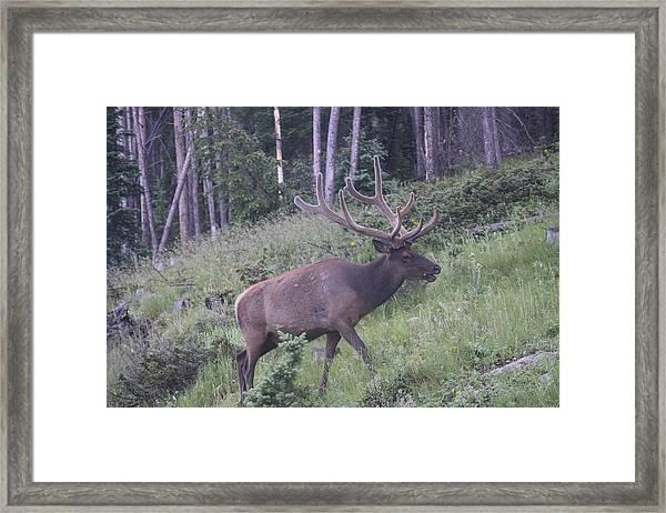 Bull Elk Rocky Mountain Np Co Framed Print