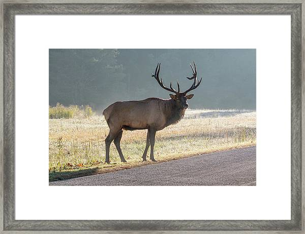 Framed Print featuring the photograph Bull Elk Watching by D K Wall