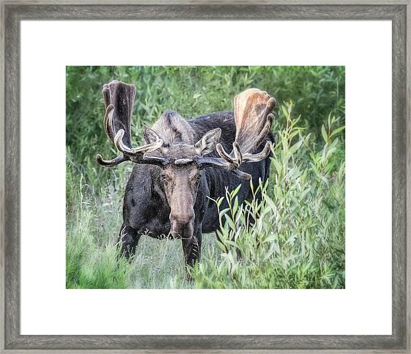 Framed Print featuring the photograph Bull Moose, Grand Tetons by Gigi Ebert