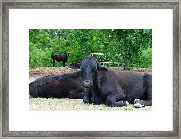 Bull Relaxing Framed Print