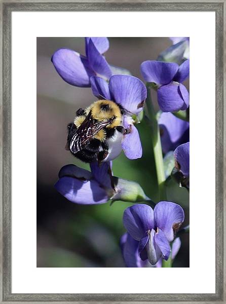 Bumble Bee, Blue Indigo Framed Print