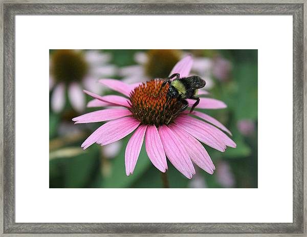 Bumble Bee On Pink Coneflower Framed Print