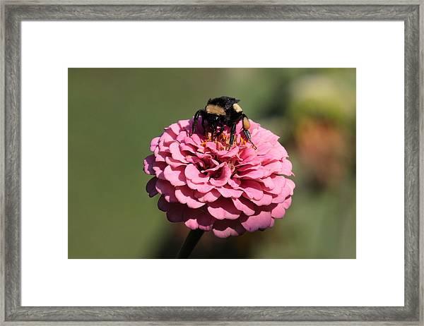 Bumble Bee On Zinnia 2649 Framed Print