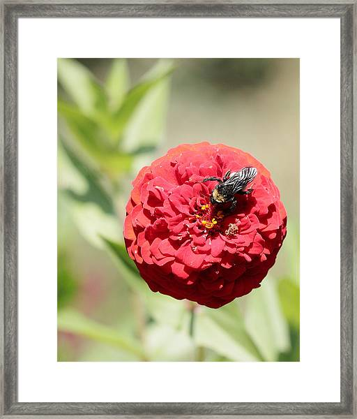 Bumble Bee On Zinnia Framed Print