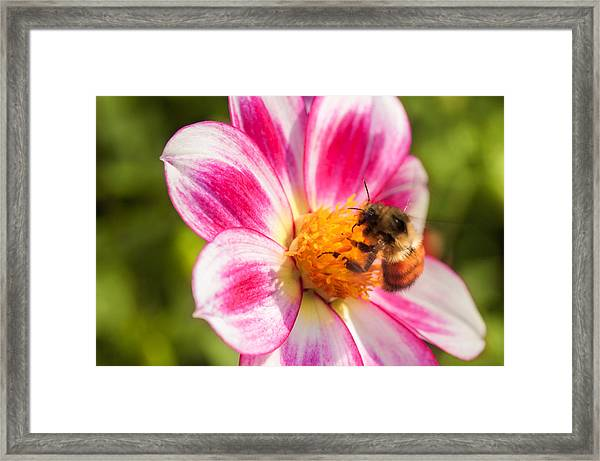 Bumble Bee Pollination Framed Print