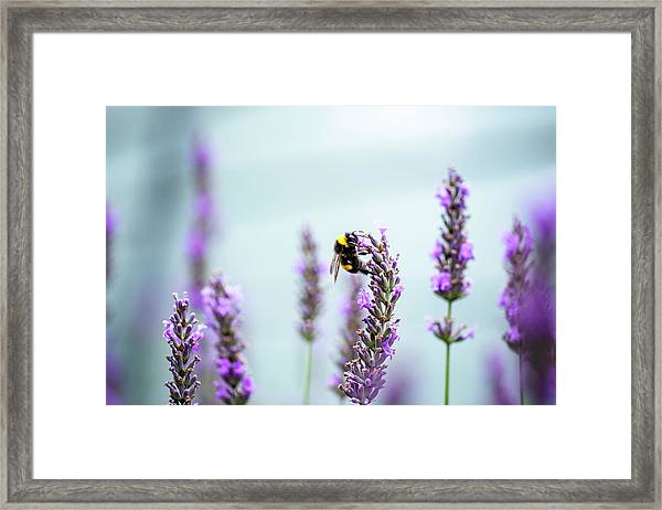 Bumblebee And Lavender Framed Print