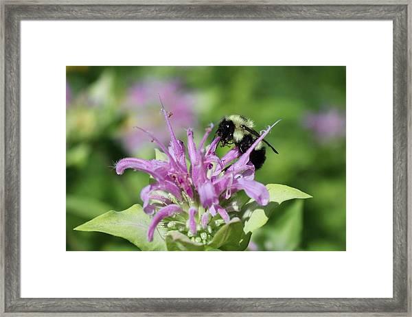Bumblebee On Bee Balm Framed Print