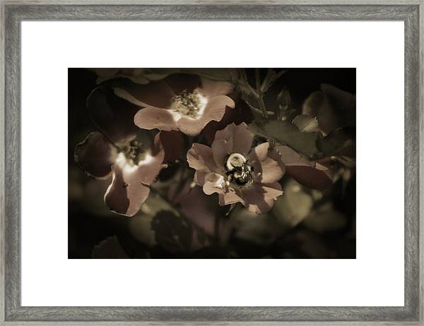 Bumblebee On Blush Country Rose In Sepia Tones Framed Print