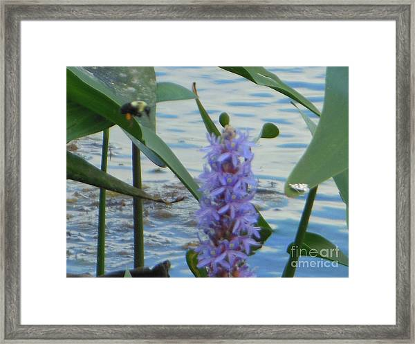 Bumblebee Pickerelweed Moth Framed Print