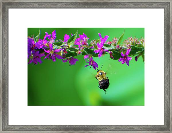 Bumblebee To Nectar Framed Print