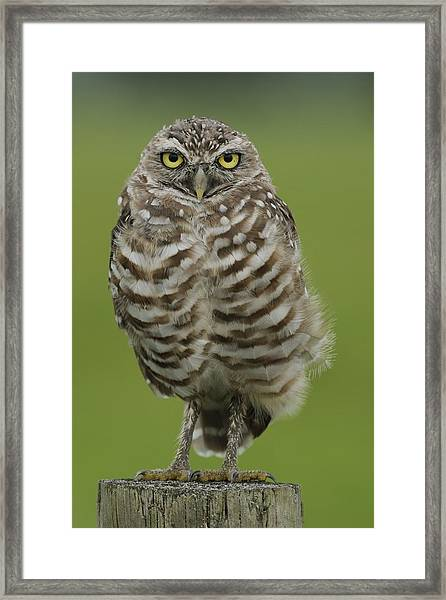 Burrowing Owl Lookout Framed Print