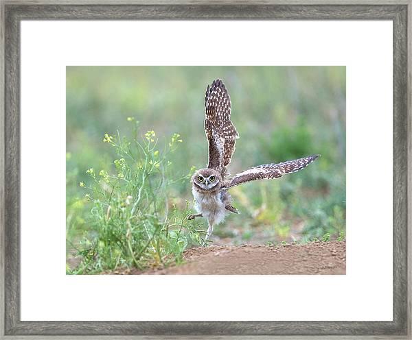 Burrowing Owl Spies Grasshopper Framed Print