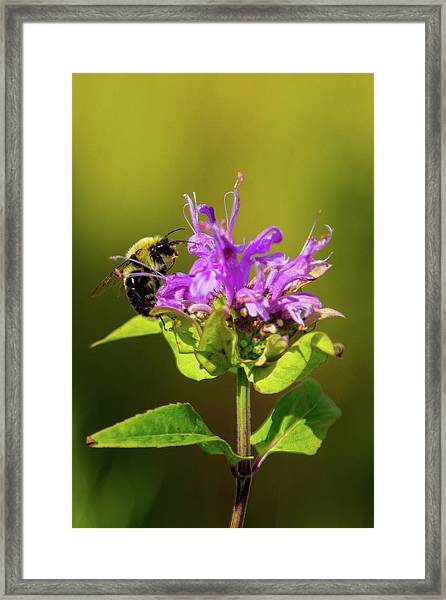 Busy As A Bee Framed Print