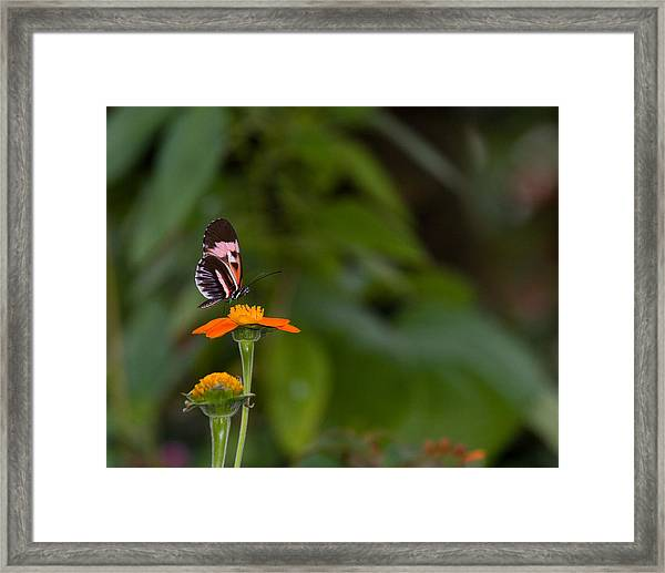 Butterfly 26 Framed Print