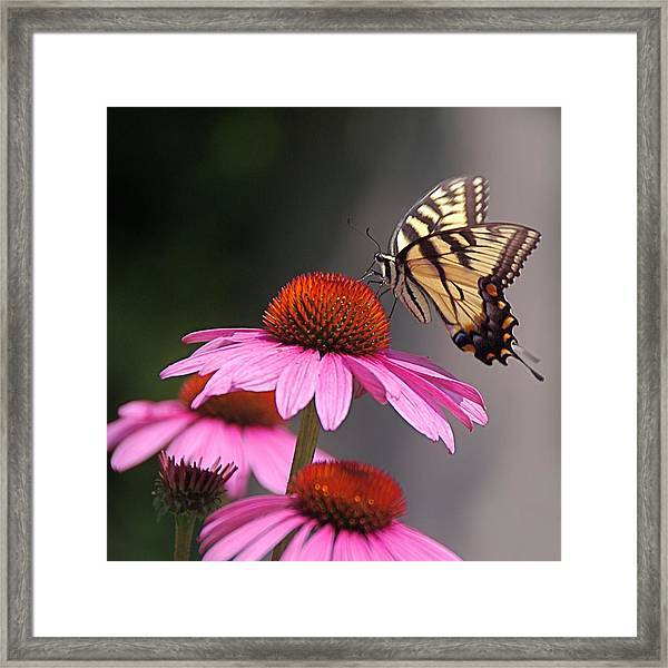 Butterfly And Coneflower Framed Print