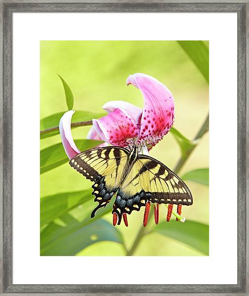 Butterfly And Lily Framed Print