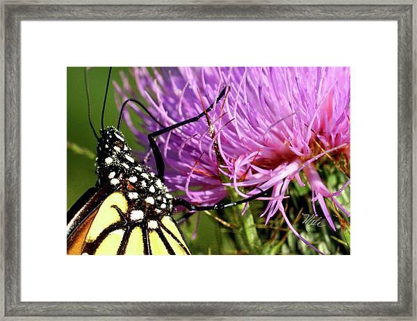 Butterfly On Bull Thistle Framed Print