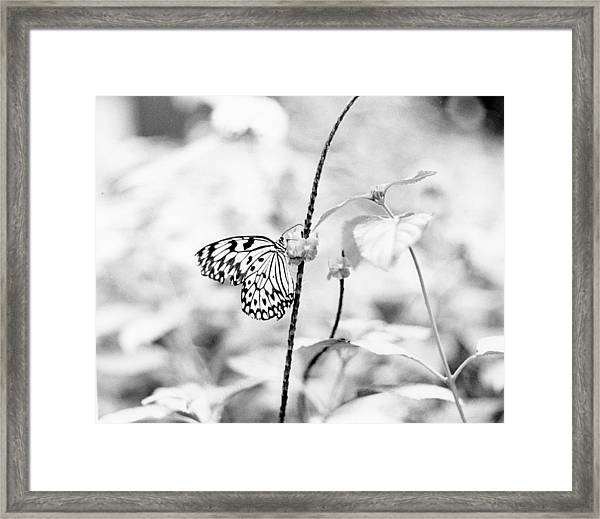 Butterfly Eatting  Framed Print