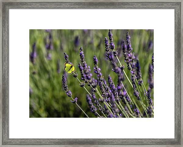 Butterfly N Lavender Framed Print