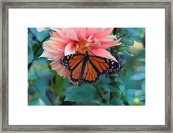 Butterfly On Dahlia Framed Print