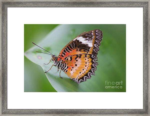 Butterfly On The Edge Of Leaf Framed Print