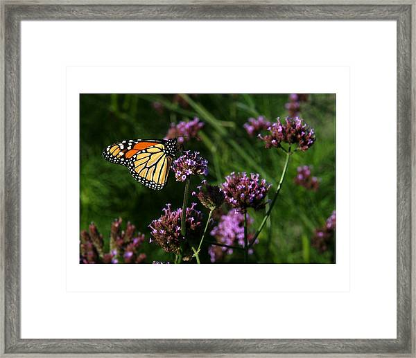 Butterfly Framed Print by Robert Ruscansky