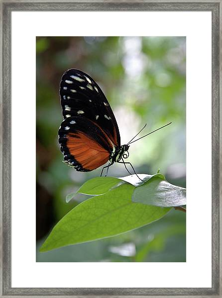 Butterfly Royalty Framed Print