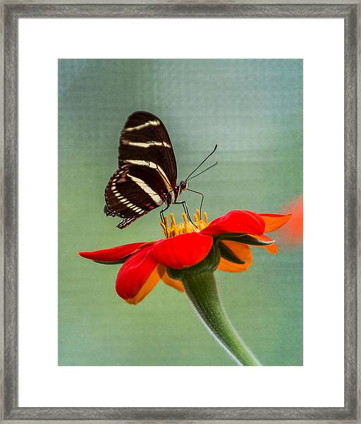 Framed Print featuring the photograph Butterfly Zebra Longwing On Zinnia by Patti Deters