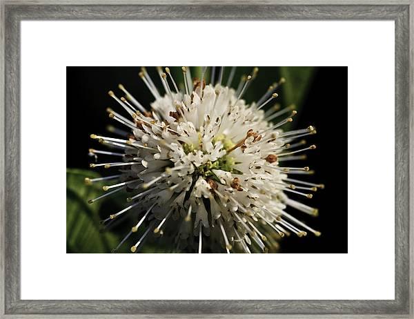 Buttom Bush Framed Print