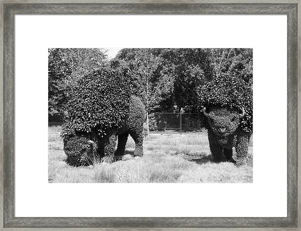 Bw Of Grazing Buffalo 2 Framed Print