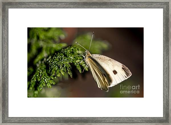 Cabbage Butterfly On Evergreen Bush Framed Print