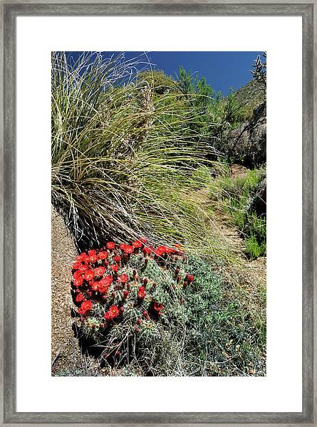 Crimson Barrel Cactus Framed Print