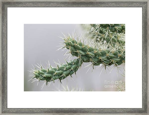 Cactus Branch With Wet White Long Needles Framed Print