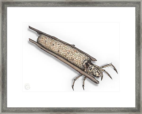 Caddisfly Limnephilidae Anabolia Nervosea Larva Nymph -  Framed Print